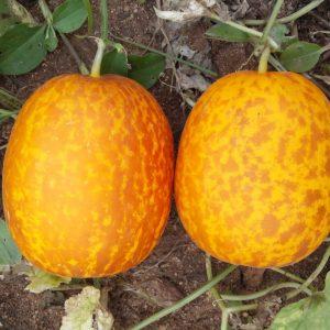 Dosakaya / Sambar Cucumber Seeds