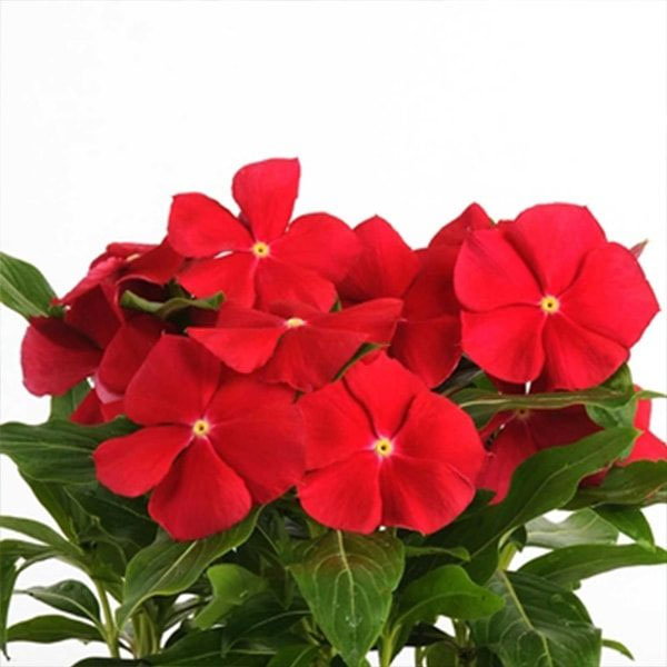 Vinca Dwarft Red Cherry Flower Seeds