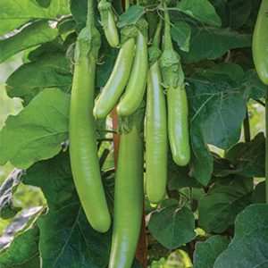 Long Green Brinjal / Vankaya Seeds