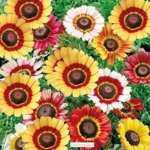 Chrysanthemum Carinatum Mix Flower Seeds