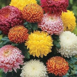 Chrysanthemum Flower Seeds