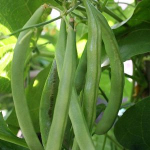 French Beans Seeds / Beernees Seeds