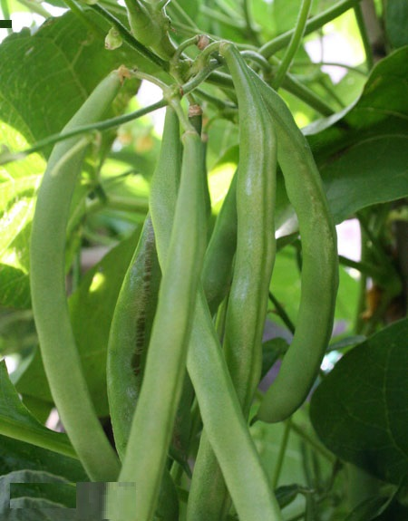 French Beans / Beernees Seeds