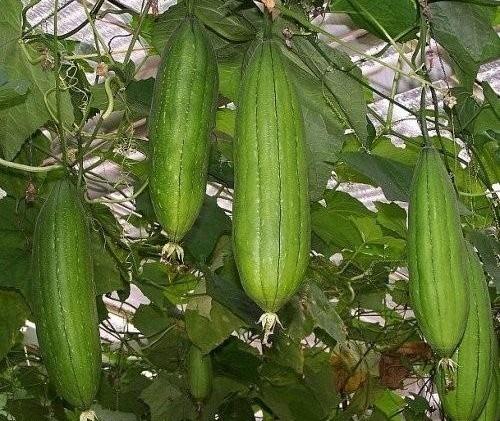 Nethi Beerakaya / Sponge Gourd Seeds