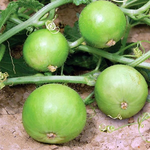 Tinda / Apple Gourd Seeds