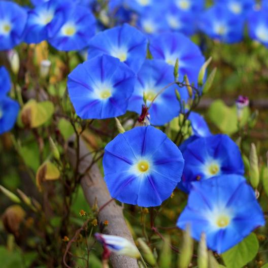 Ipomia Morning Glory Flower Seeds