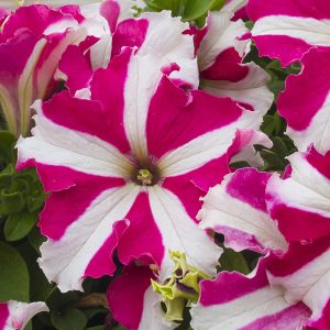 Petunia N C Stars Mix Flower Seeds