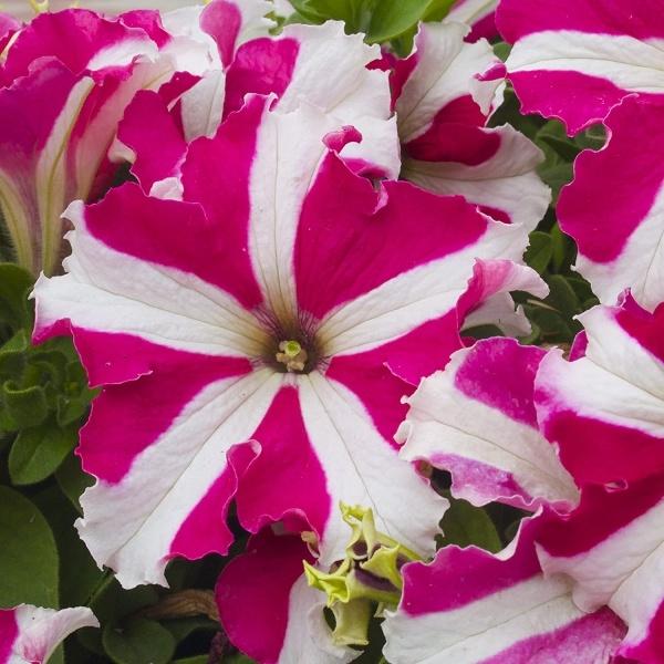 Petunia N C Stars Mix Flower Seeds