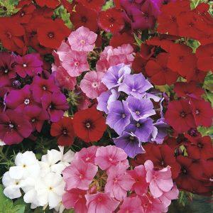 Phlox Beauty Mix Flower Seeds