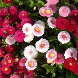 Bellis Perennis Pomponette Mix Flower Seeds
