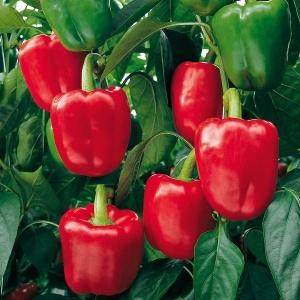 Capsicum Red Queen Seeds