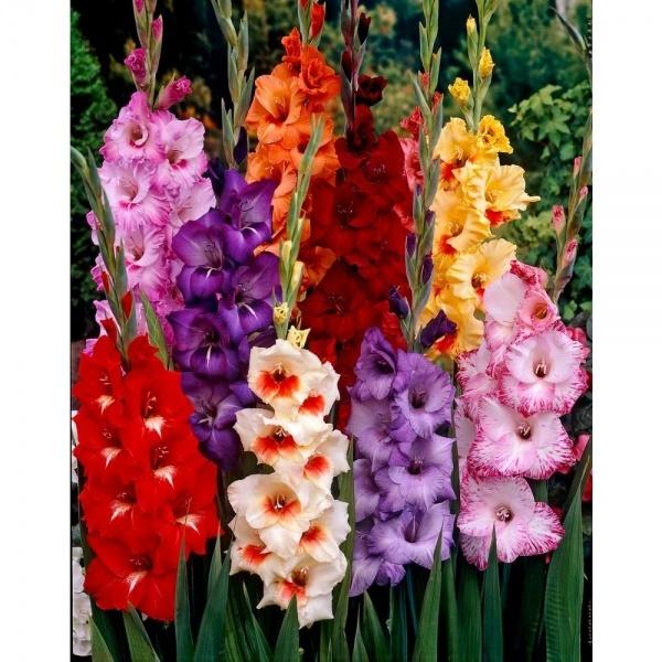 Gladiolus Mixed Flower Bulbs