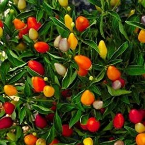 Ornamental Chilli Choice Mix Seeds
