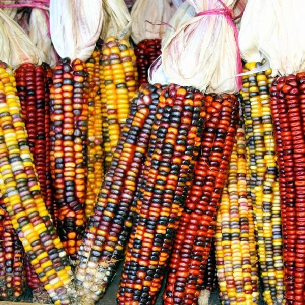 Ornamental Corn Seeds