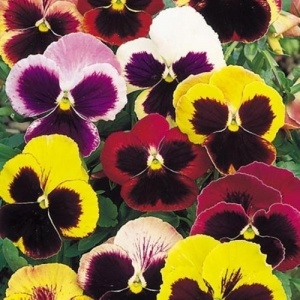 Pansy Swiss Giant Mixed Flower Seeds