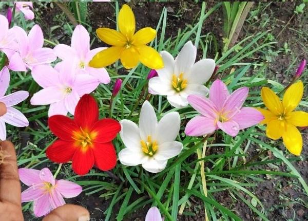 Zephyranthes Rain Lily Mixed Flower Bulbs
