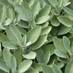 Sage Broad Leaved Seeds