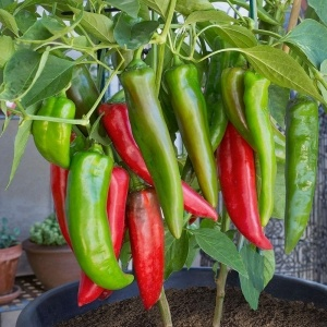 Chilli Hot Pepper Seeds